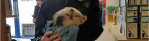 Gardaí found a lost little pig in Wicklow yesterday and reunited him with his owners