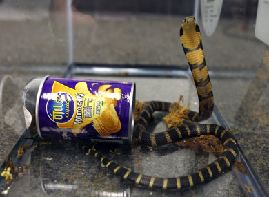 One of three king cobras that were hidden in a crisp can and mailed to a Los Angeles home.