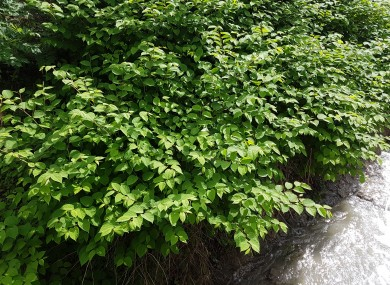 File photo of Japanese knotweed