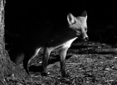 '90% of foxes shot at night are shot in the proposed curfew period.'