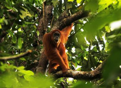 A Sumatra orangutan