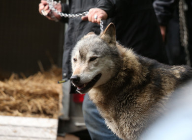 The wolf was captured by police and sanctuary staff.