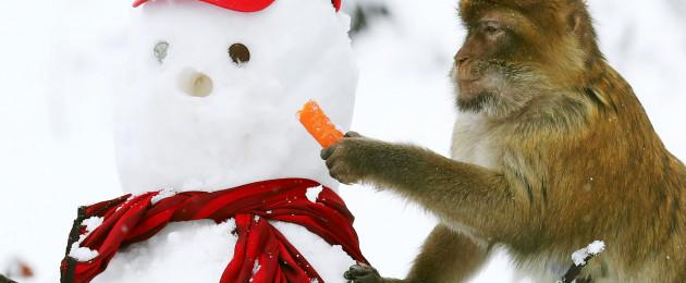 A macaque steals a snowman's nose at Blair Drummond Safari Park in Scotland