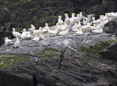 Gannets gather on Little Skellig
