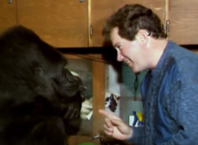 Koko meeting William Shatner