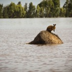 A wallaby stands on a large round hay bale trapped by rising flood waters outside the town of Dalby in Queensland, Australia as parts of central and southern Queensland state remained inundated.