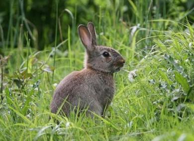 A common rabbit making a meal out a dandelion in Dublin's Phoenix Park.