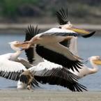 Pelicans fly in the Danube Delta region of Romania. (AP Photo/Nicolae Dumitrache)