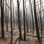 A hillside of trees scorched by the Wallow Fire is seen during a tour of the burned area south of Alpine, Arizona, 10 June, 2011. (AP Photo/Susan Montoya Bryan)