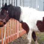 Cupcake was rescued in February. She was abandoned on waste land and was in a very poor condition suffering from a stomach infection. The IHWT say she was 'very down in herself and had given up on any human kindness'.