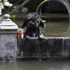 A dog looks from a fence at a flooded area in Bangkok, Thailand today. (AP Photo/Aaron Favila)