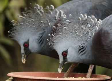 A pair of Western and Victorian crown pigeons eat from a feeding plate at the Kuala Lumpur Bird Park, Malaysia