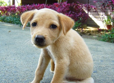File photo of a Labrador puppy, sober
