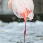 A flamingo nestles into its own feathers in the snow at London Zoo. Image: Anthony Devlin/PA Wire