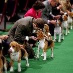 Keith Paladino of Lodi, New Jersey, second from left, works with a Beagle as they line up in the ring for competition at the 136th annual Westminster Kennel Club dog show. (AP Photo/Craig Ruttle/PA Images)