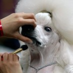 Standard poodle Sophie is groomed before her showing at the event. (AP Photo/Craig Ruttle/PA Images)