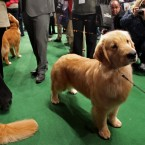 A golden retriever named Chloe, from Green Bay, Wiscpnsin, awaits patiently and adorably for her breed competition. (AP Photo/Craig Ruttle/PA Images)
