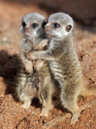Two meerkat pups born at Bristol Zoo Gardens three weeks ago.