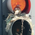 A thrush looks out from its unusual nest inside a traffic light in Leeds city centre this week. (Anna Gowthorpe/PA Wire)