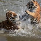 Slaps and splashes at the Huangshan Mountain Tiger Park. (Photo by Shi Guangde/ChinaFotoPress/PA)