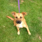 A very young Terrier/Lab cross full of energy and fun. (Image: Madra.ie)