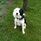 Sunny is a young male collie whose tongue hangs out when he's being petted. (Image: Madra.ie)
