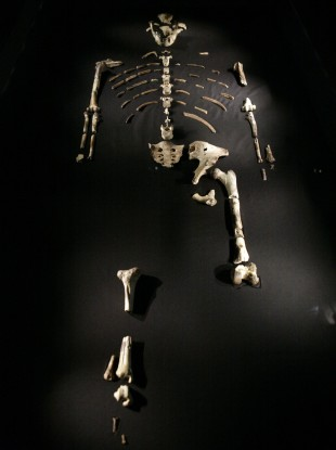 The 3.2 million year old Australopithecus afarensis skeleton called Lucy.
