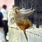 A Rhesus macaque hanging from a fence in New Delhi. (AP Photo/Manish Swarup)
