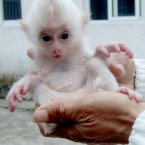 A newborn white macaque. Want! (ChinaFotoPress/Photocome/Press Association Images)