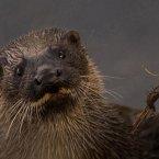 Otter (Photo: K. Murphy www.irishwildlifephotography.com)