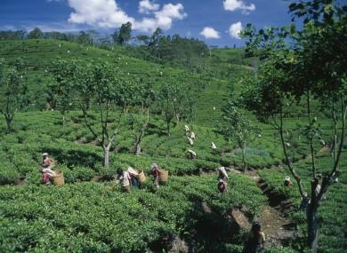 Tea pickers in a tea plantation in Sri Lanka last December.
