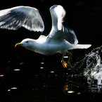 A seagull cools down in St Stephen's Green (Julien Behal/PA Wire)