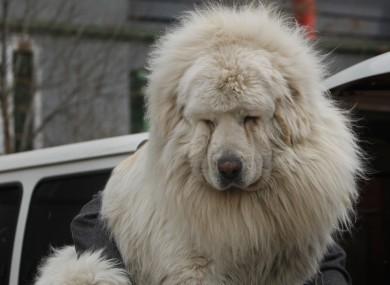 A Tibetan mastiff. Lion-like... sort of.
