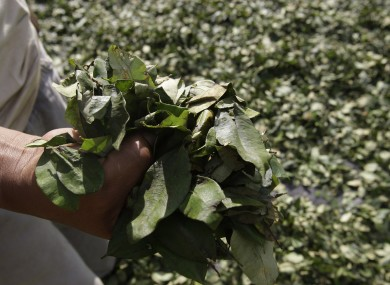 A coca farmer displaying leaves in Peru's Apurimac valley.