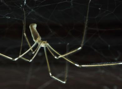 A cellar spider, or Daddy Longlegs