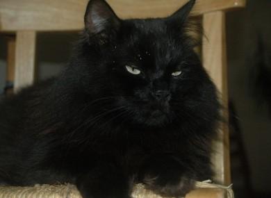 A black cat, similar to Shiny.