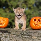 Karis, an 8 week old lion cub with two pumpkins as she explores the Halloween treats put in her enclosure by staff at Blair Drummond Safari Park near Stirling.<span class=