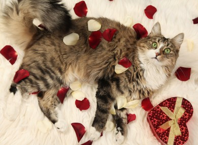 This cat is prepared for Valentine's Day.