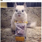 Mr. Bagel the chinchilla uses his fame for good by reminding his 53,000 followers to adopt new pets from rescue shelters. <span class=