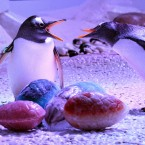 The Gentoo penguins at the Sea-Life Aquarium at the South Bank in central London, are fascinated to see the early arrival of seasonal Easter eggs, made from solid ice packed with fishy treats of sprats and herring, in the build up to the Bank holiday Easter weekend.