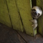 A sloth peeks out from behind a door on a floating house in the 'Lago do Janauari' near Manaus, Brazil.<span class=