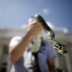 Rafael Lopez holds up his carpet python during a demonstration by the owners of exotic pets outside the Capitol in San Juan, Puerto Rico.<span class=