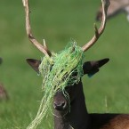 A buck with netting tangled on its antlers in Phoenix Park, Dublin.<span class=