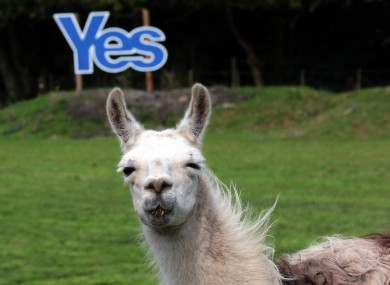A Yes sign is displayed in a field with llamas grazing in Jedburgh.