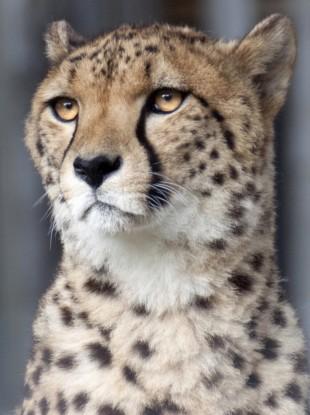 File photo of a cheetah.