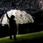 A young boy reaches up for a cherry blossom while a smaller tree is lit up by a a street lamp at Branch Brook Park.<span class=