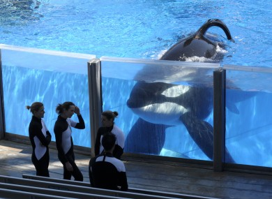 Killer whale Tilikum - featured heavily in the 2013 documentary 'Blackfish' - pictured at SeaWorld in Orlando.