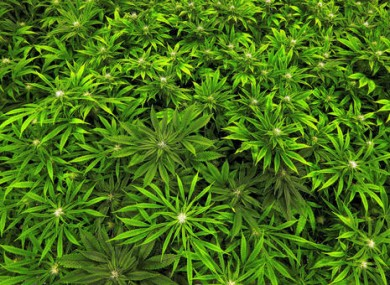 Marijuana 'eases chronic pain, but may increase risk of