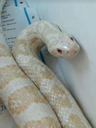 The 3 foot albino corn snake found in Dublin