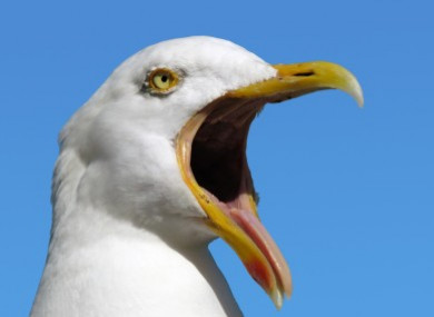 an aggressive seagull is plaguing today fm but are other humans